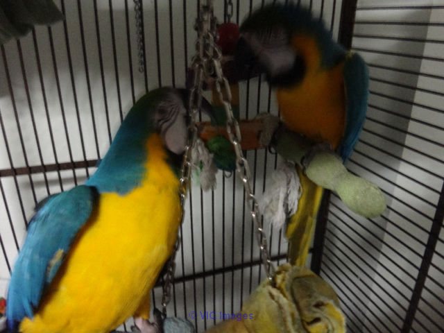 Sweet beautiful blue and gold macaws for adoption Toronto - GTA, Ontario Annonces Classées