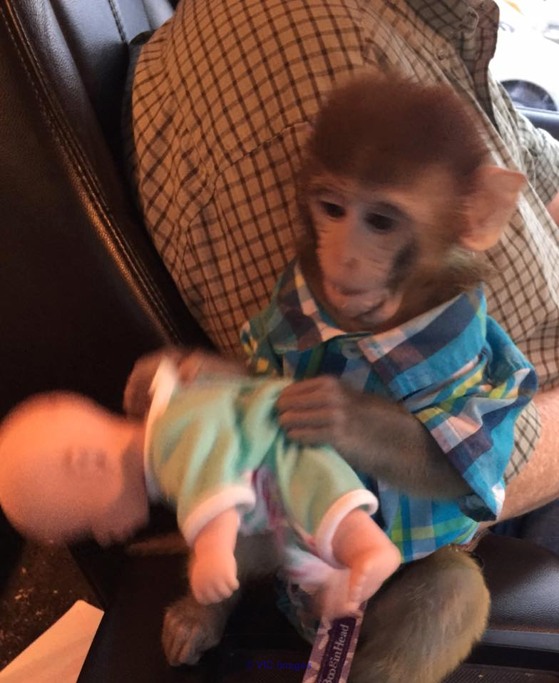 BABY MONKEY HOME TRAINED FOR ADOPTION toronto