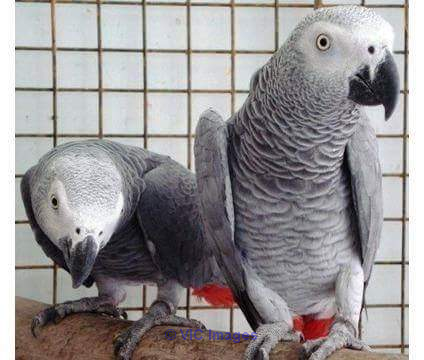 Adorable African grey parrots for adoption Toronto - GTA, Ontario Classifieds
