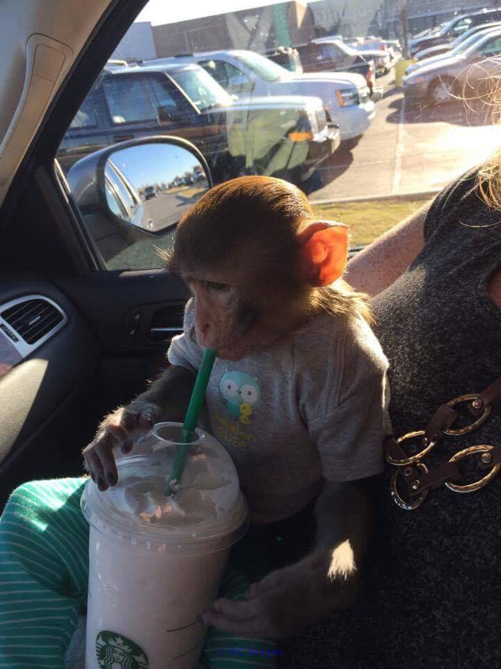 Rhesus Macaque Baby Monkey For Adoption/Rehoming