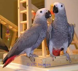 AFRICAN GREY PARROTS FOR REHOMING-ADOPTION