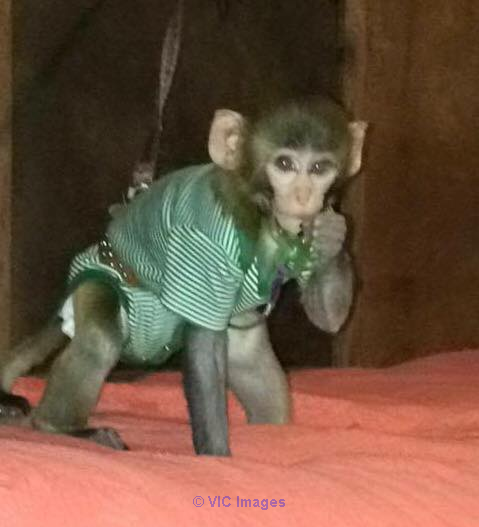 AMAZING BABY MONKEY AVAILABLE FOR ADOPTION toronto