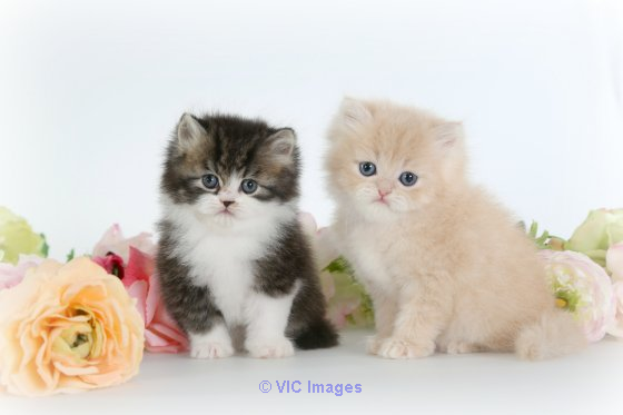 Persian kittens, Persian kittens for adoption, Persian   kittens breed