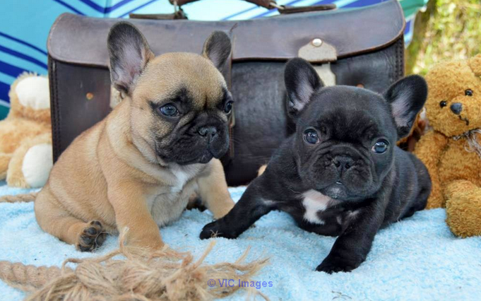 DADIUDAGS Frenchies Puppies For Sale at Frenchies Puppy Home  toronto